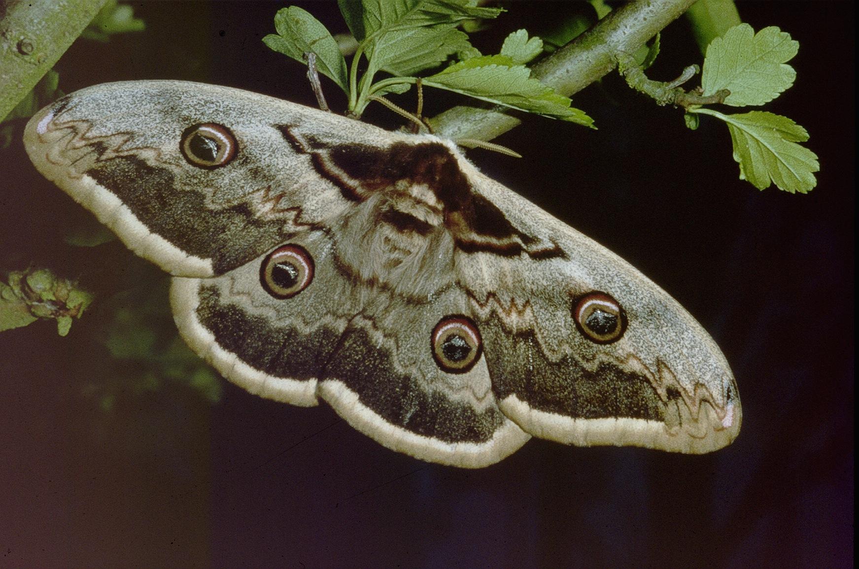 Grand paon de nuit - Gros papillon de nuit dangereux ...