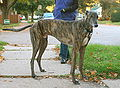 Greyhound brindle standing.jpg