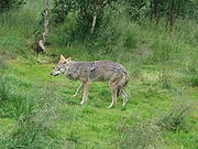 Canis lupus-Wolf-Polar Zoo Norway.JPG