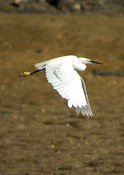 aigrette en vol