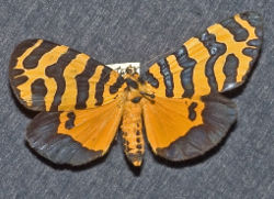 Amphicallia thelwalli