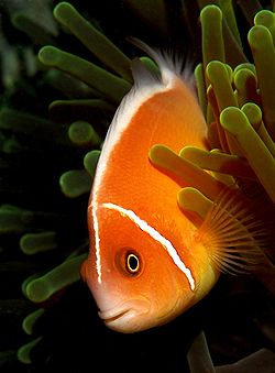 Poisson-Clown (Amphiprion perideraion)