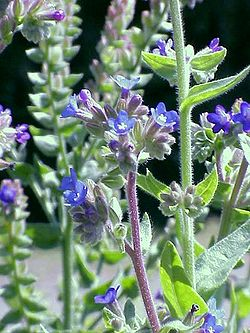 La buglosse officinale, Anchusa officinalis