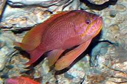 Barbier commun (Anthias anthias)