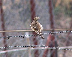 Pipit de Richard (Anthus richardi)