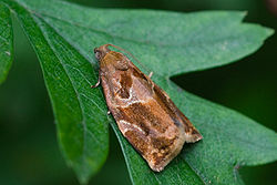 Archips xylosteana -