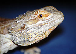 Dragon barbu (Pogona vitticeps)