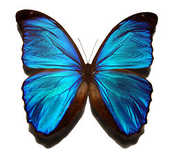 http://fr.academic.ru/pictures/frwiki/50/250px-Blue_morpho_butterfly.jpg