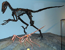 Deinonychus antirrhopus (le grand) et Buitreraptor gonzalezorum (le petit) Field Museum of Natural History, Chicago.