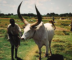 Cattle Wau Sudan.jpg