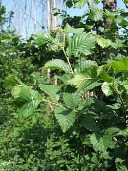 Elm leaves - geograph.org.uk - 183083.jpg