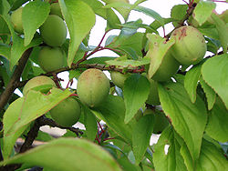 Fruits de Prunus mume