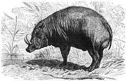 Illustration d'un Babiroussa