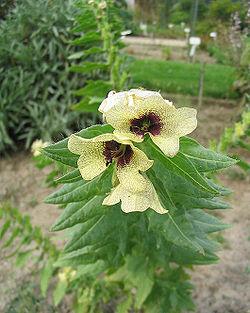 Des vertus des plantes par Macer Floridus, 1832 250px-Jusquiame