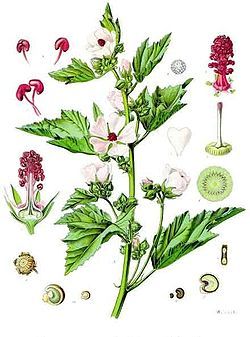Althaea officinalis (Guimauve officinale)