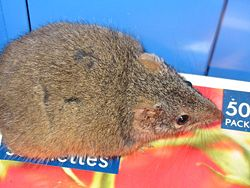 Antechinus flavipes