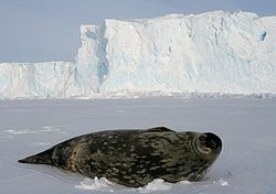 Phoque de Weddell en Antarctique