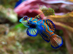 Poisson-mandarin   (Synchiropus splendidus)