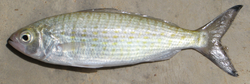 Arripis georgianus