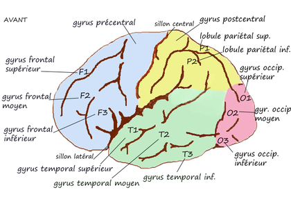 Gyrus externe.png