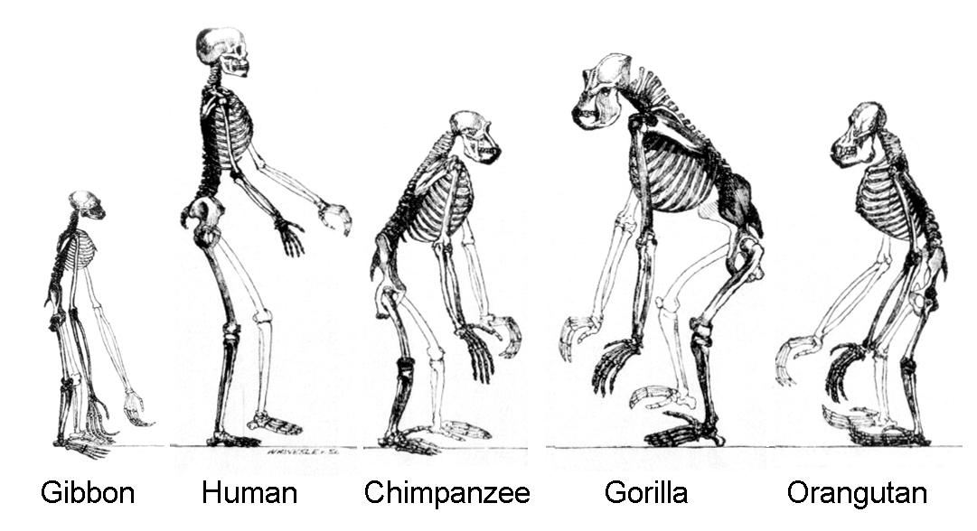 Primates Family Tree