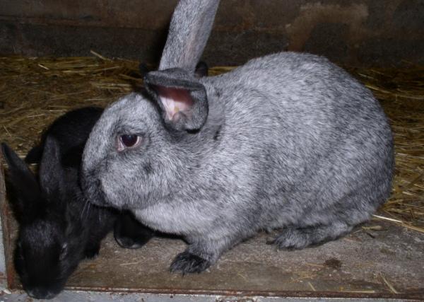 Liste des races de lapins - Liste des magasins promenade des flandres ...