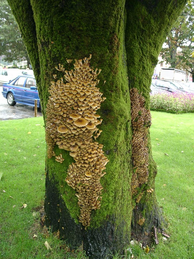 Parlons bonsai pourridi - Detruire souche arbre rapidement ...
