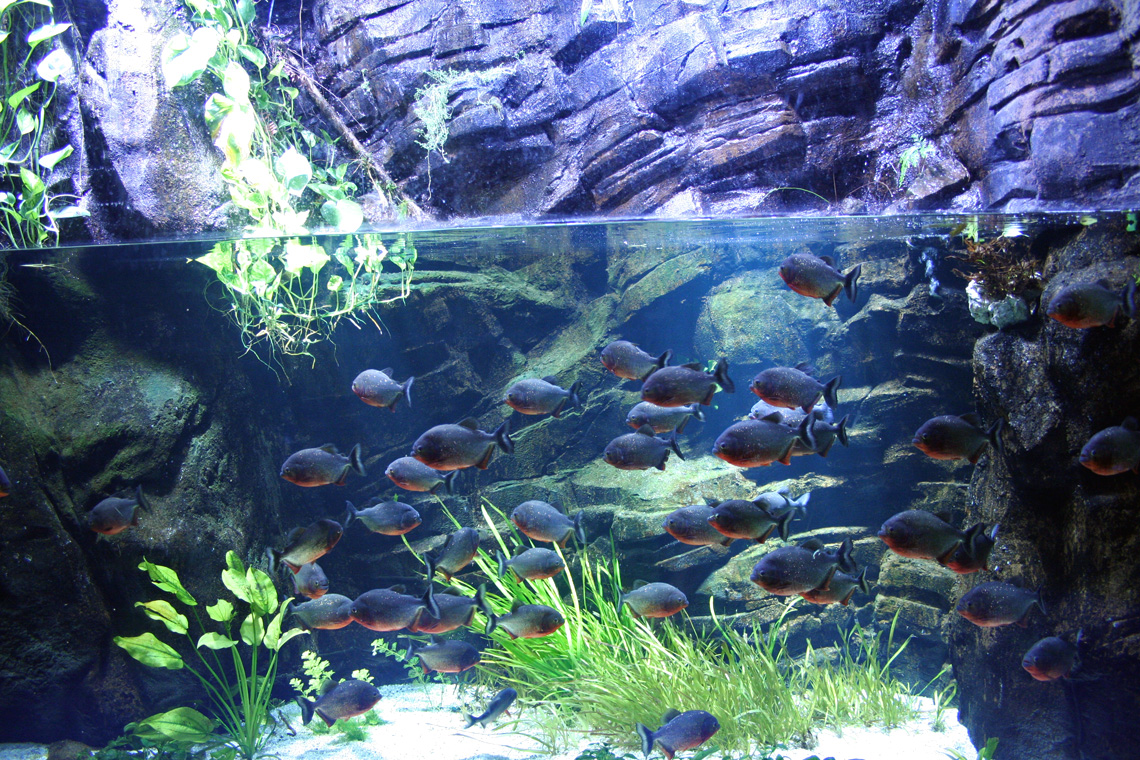 Pygocentrus nattereri for Fondo acquario