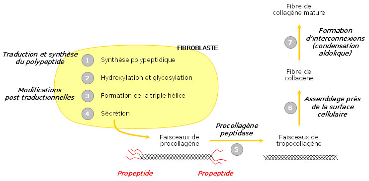 synthèse collagène