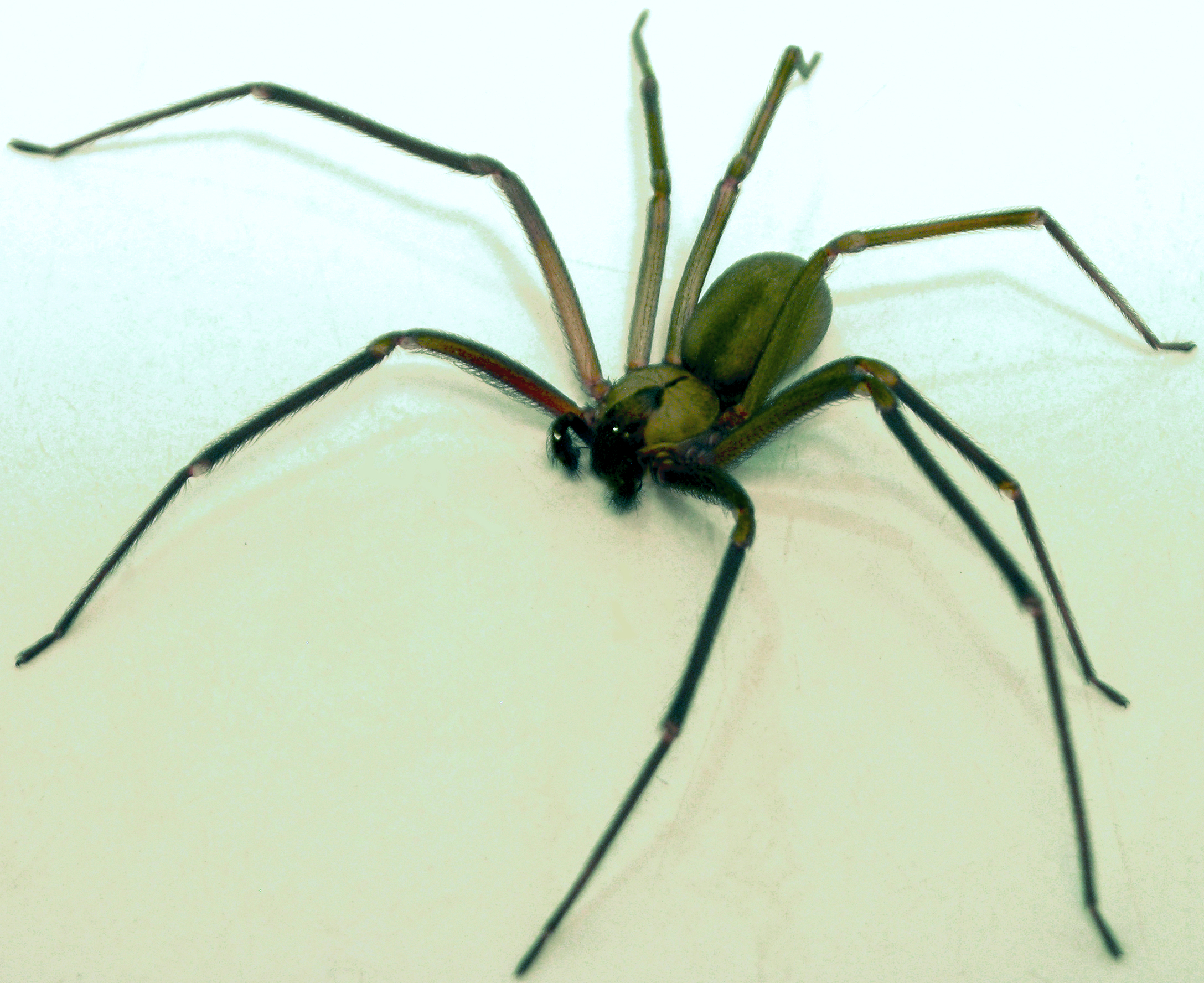 http://fr.academic.ru/pictures/frwiki/66/Brown-recluse-2-edit.jpg