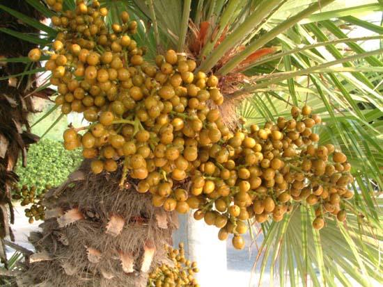 palmier nain
