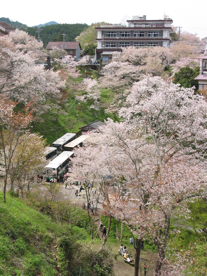 Cerisier Bois Mort : Cerisiers en fleurs ? Yoshinoyama, au Japon .