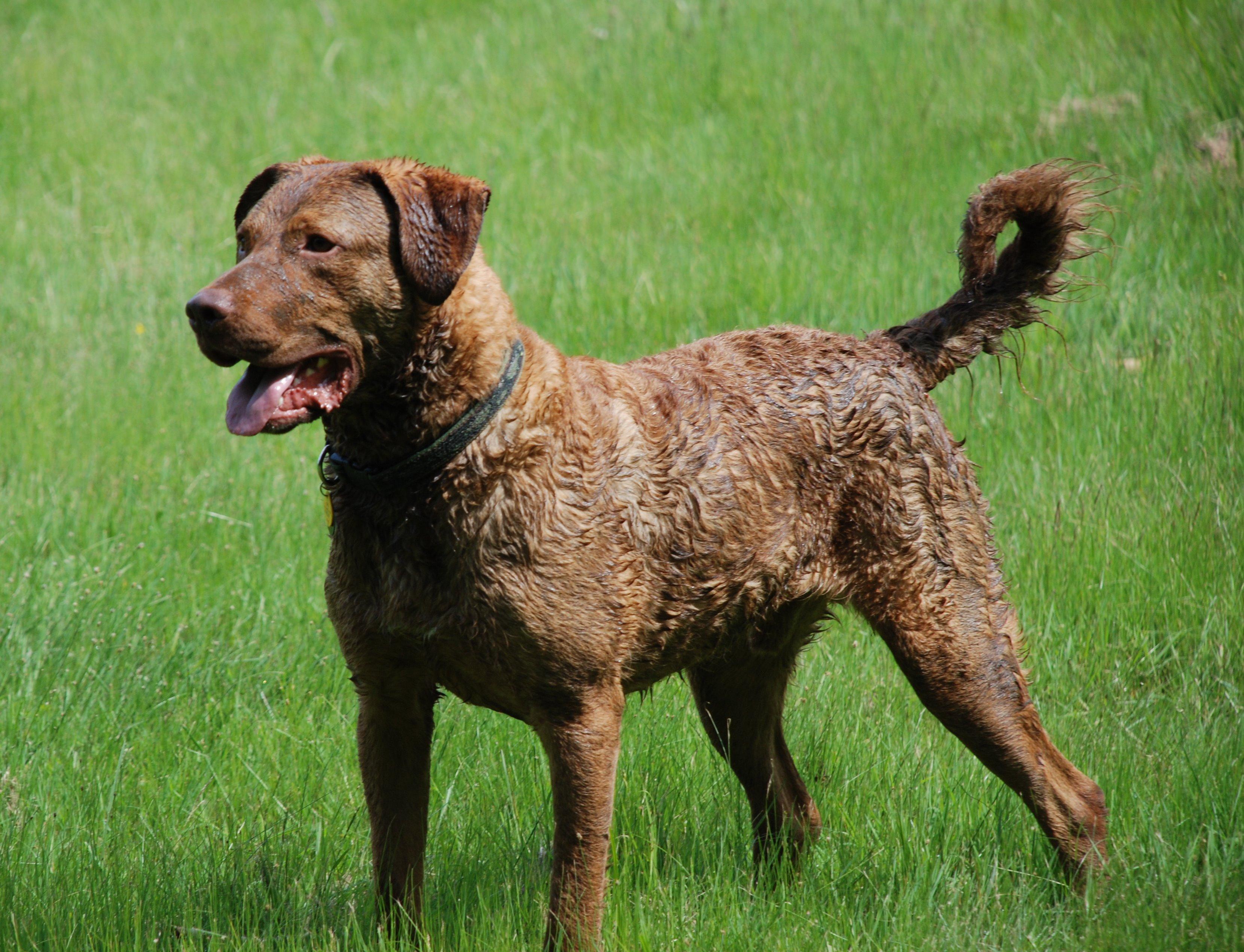 Chesapeake Bay Retriever Dog Breeds
