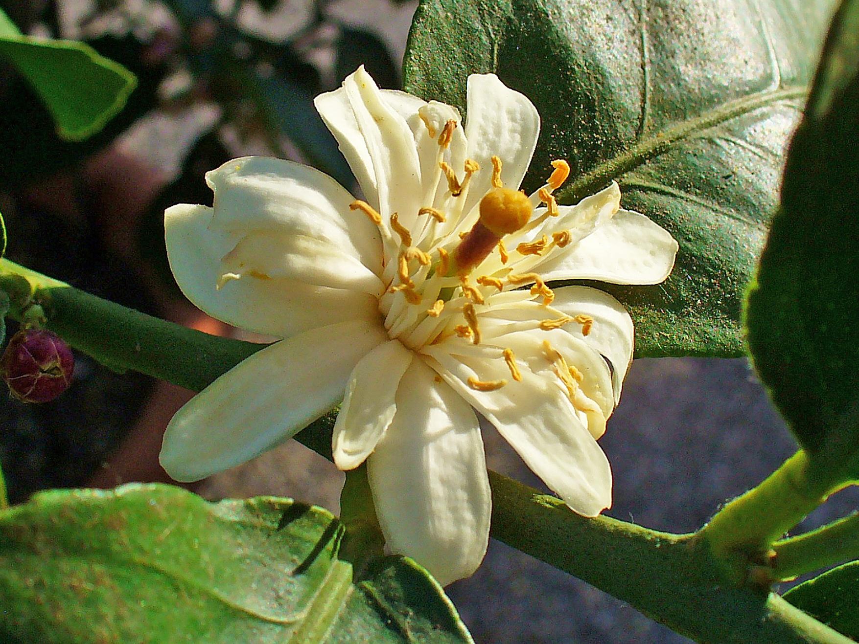 Citronnier - Citronnier feuilles jaunes ...