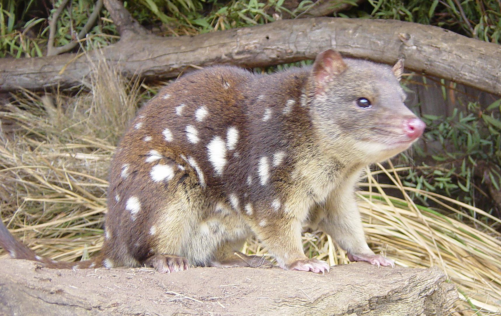 Adrian HYLAND (Australie) Dasyurus_maculatus