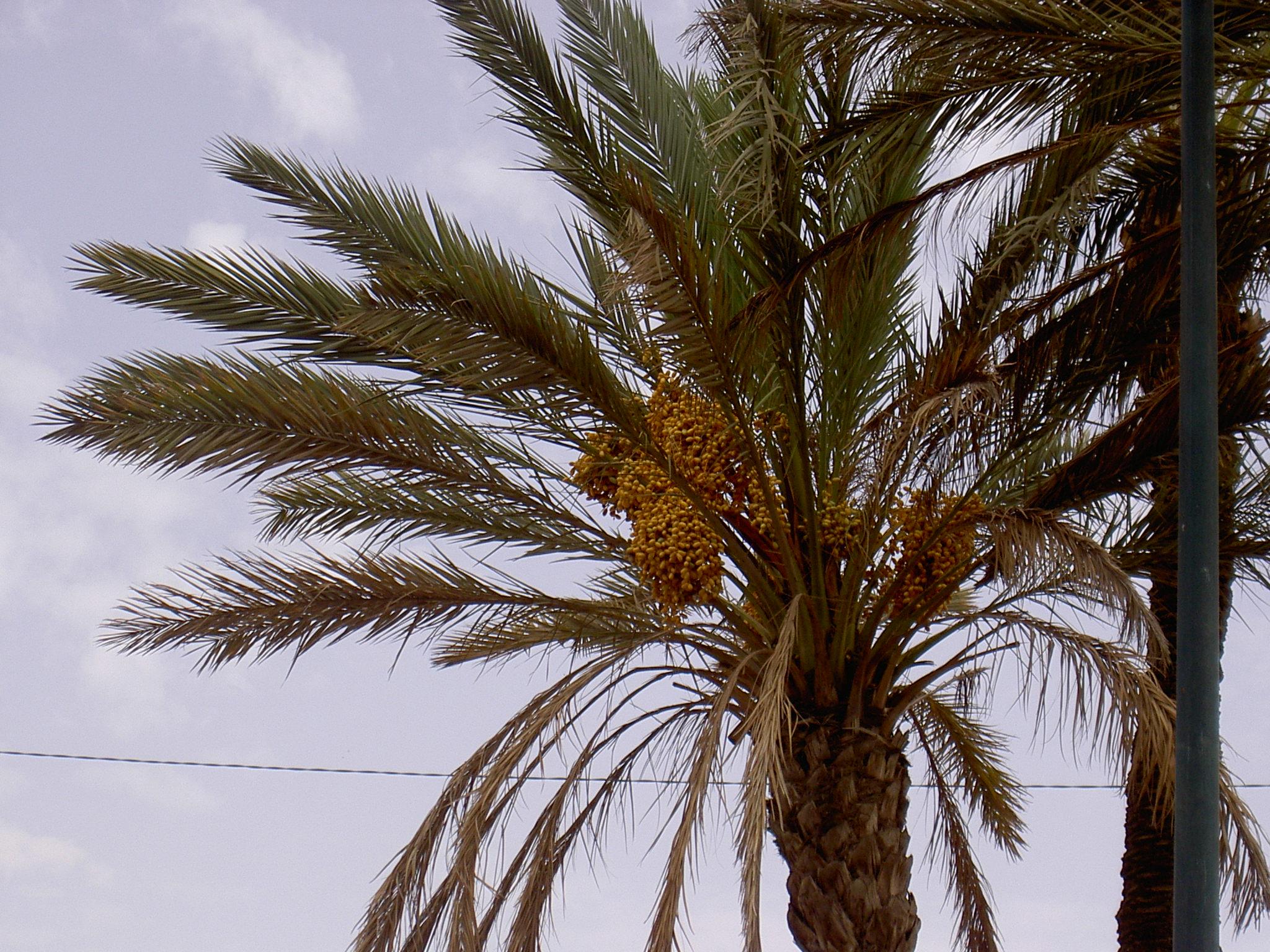 Palmier dattier - Fruit qui pousse sur un palmier ...