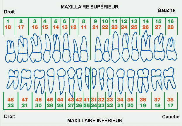 Nombre de dents dans la bouche humaine
