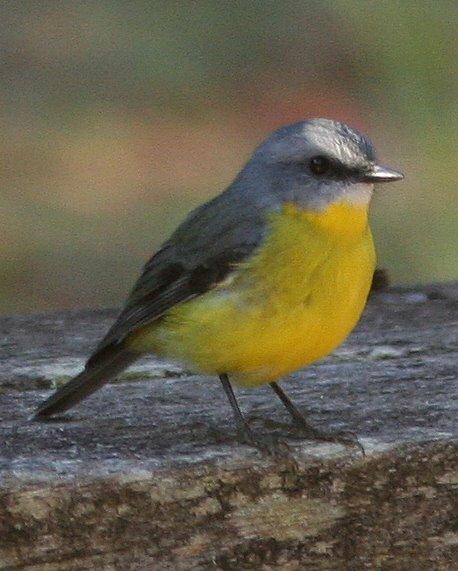 Saint fran ois d 39 assise messiaen for Oiseau ventre jaune