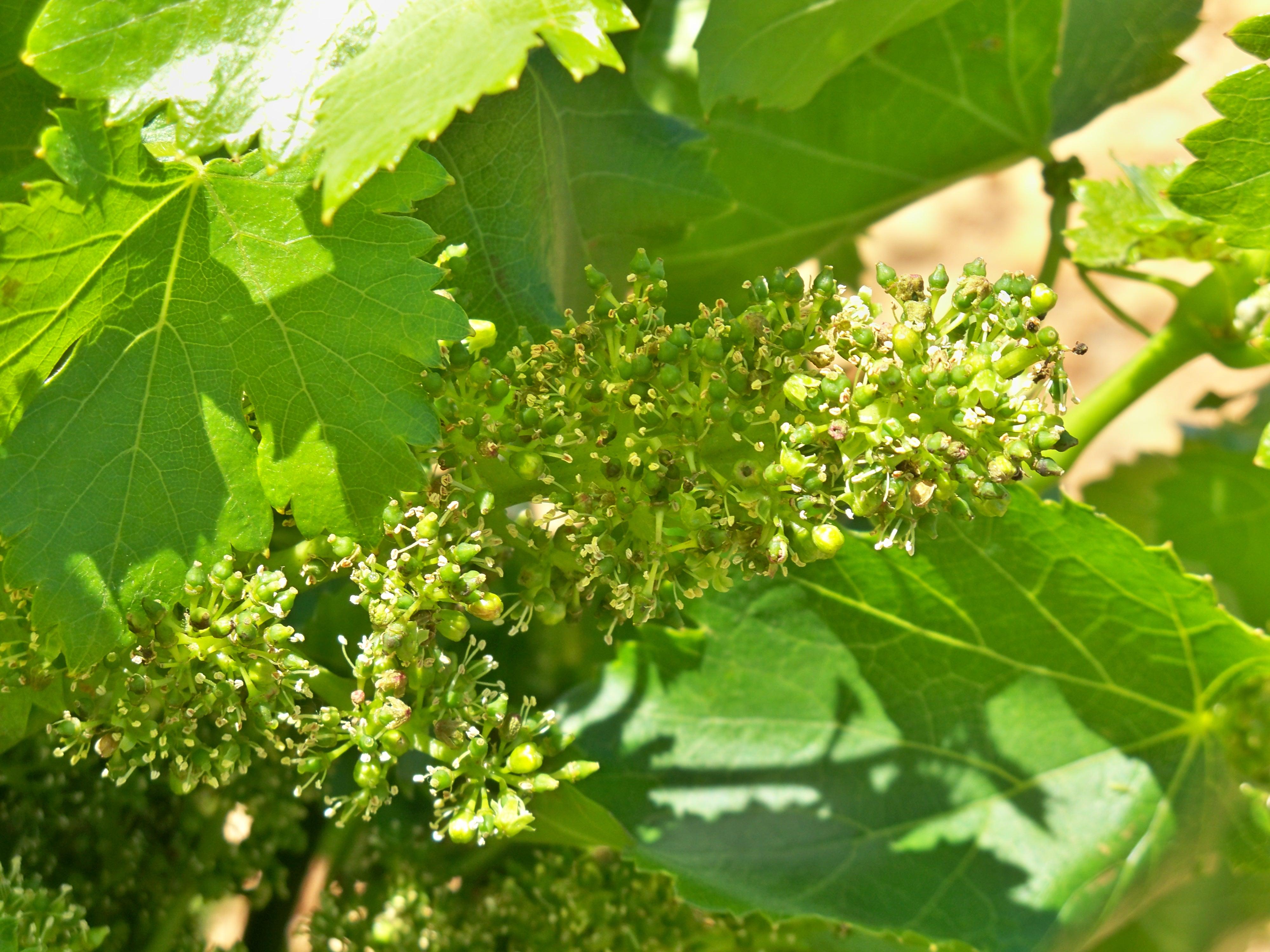 Histoire de la vigne et du vin - Parasite de la vigne ...