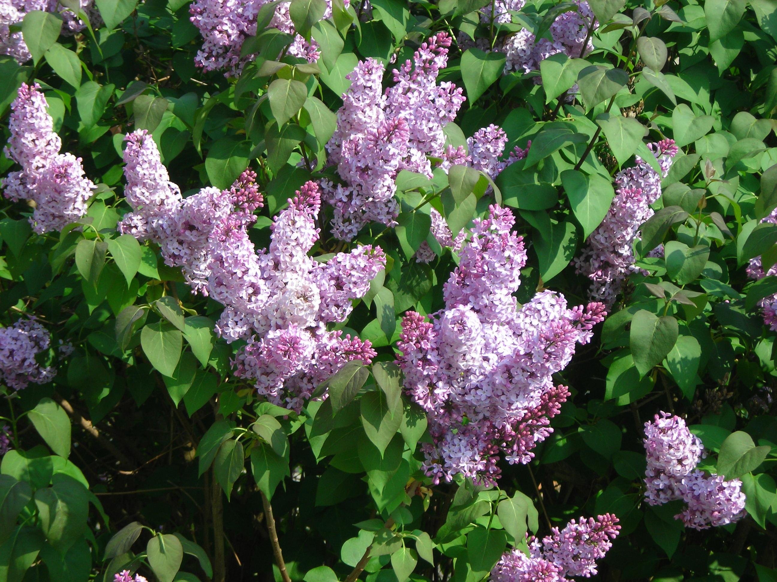 Lilas commun for Jardin de fleurs a couper
