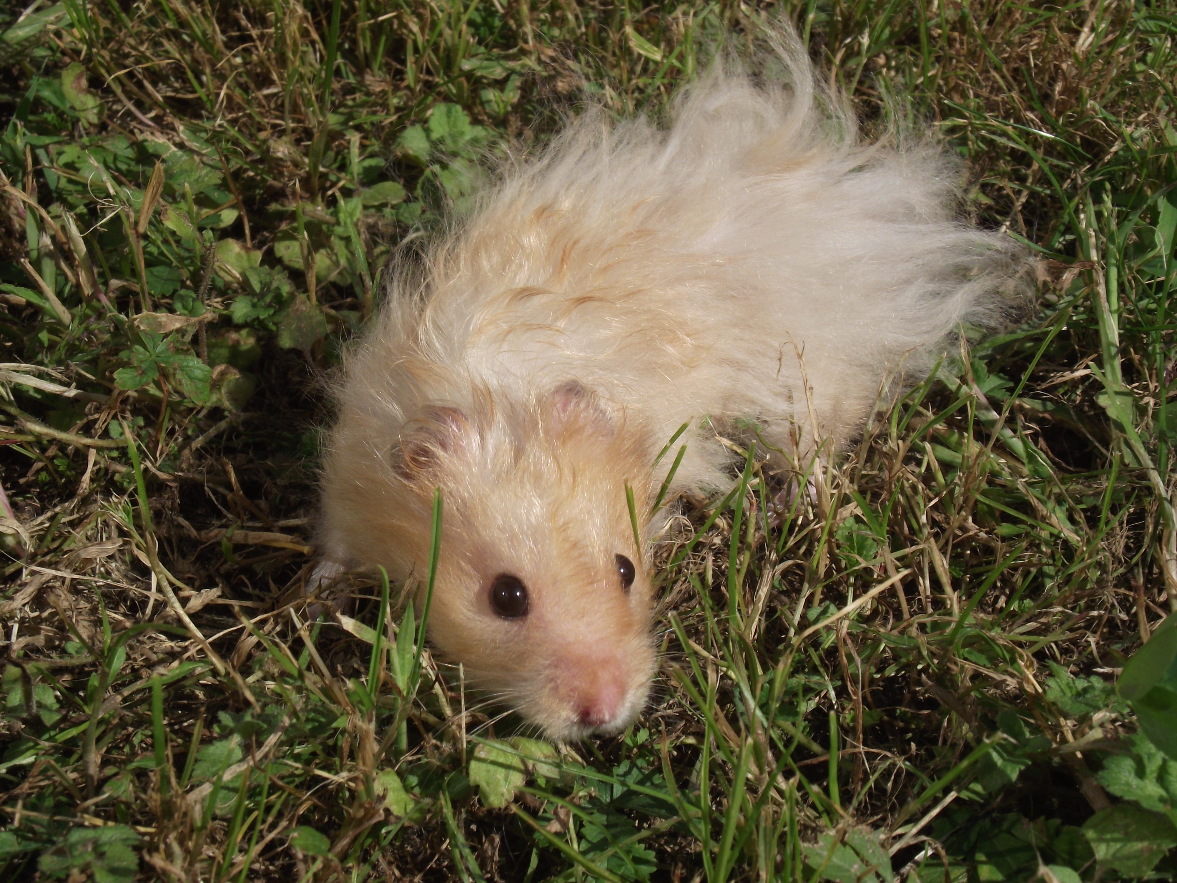 Hamster dor - Hamster russe panda ...