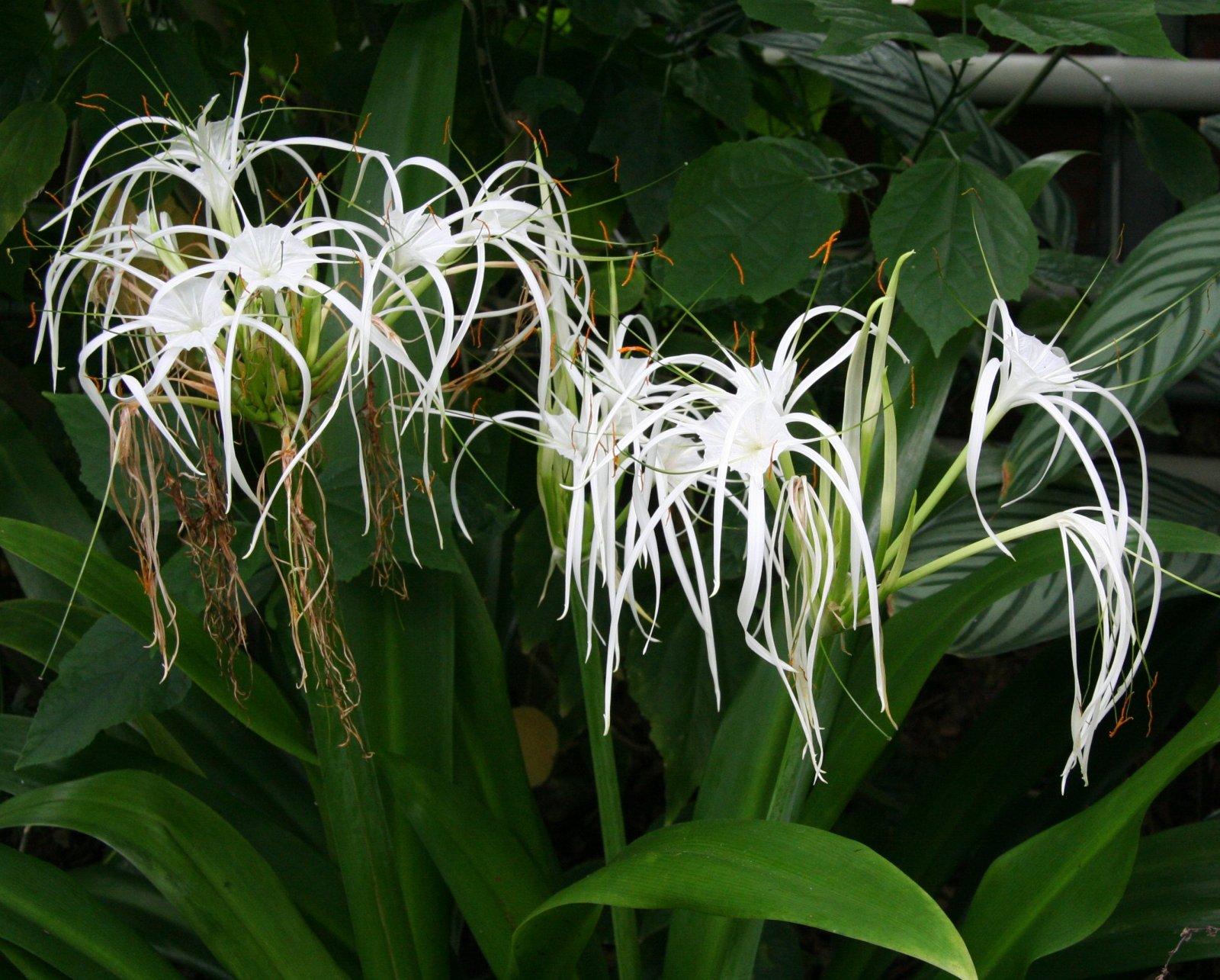 Садовые луковичные цветы: фото, названия растений