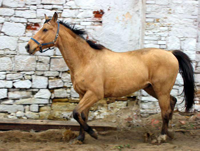 Кинская порода лошадей