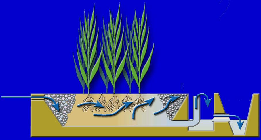 Filtre plant - Plante de bassin filtrante ...