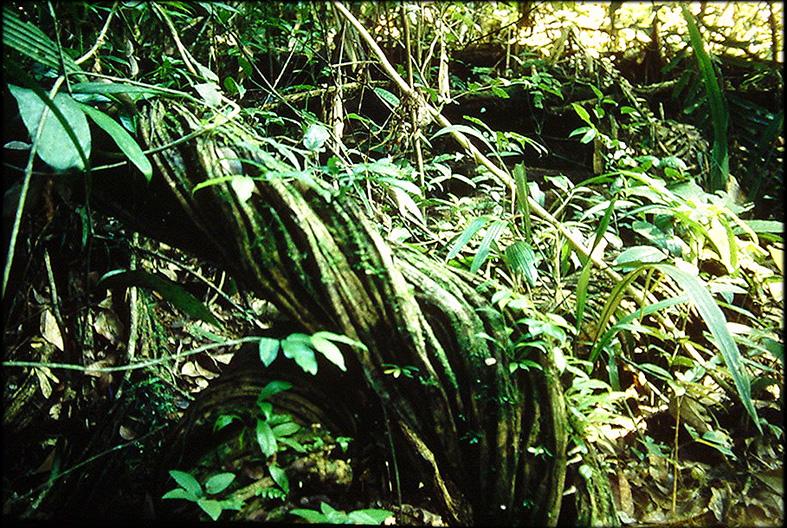Liane plante for Plante jungle