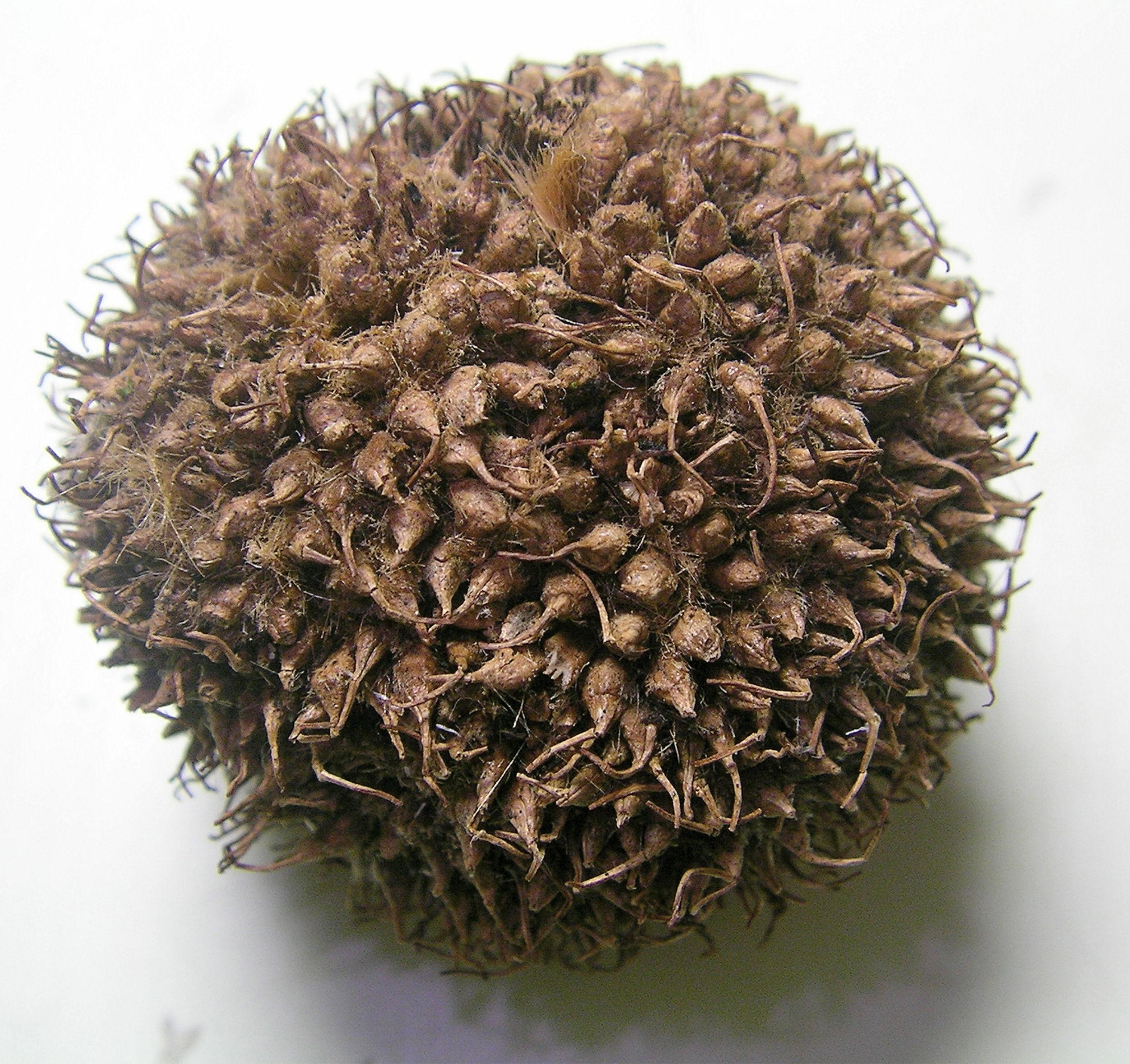 Platane commun - Fruit du murier platane ...