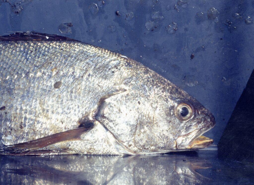 poisson korb en francais