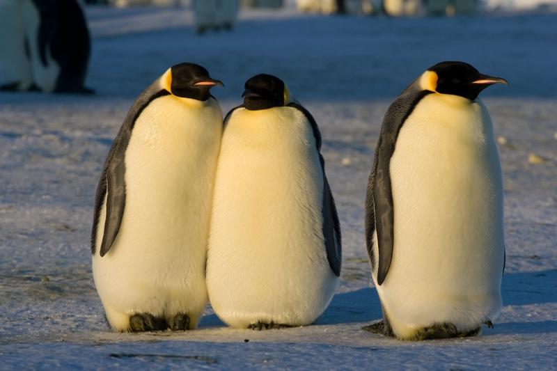 http://fr.academic.ru/pictures/frwiki/77/Manchot_empereur_-_Emperor_Penguin_-_Aptenodytes_forsteri.jpg