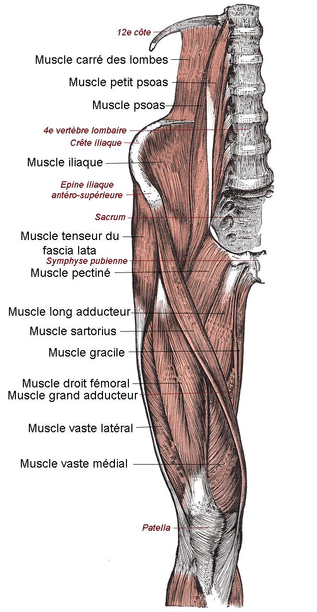 Les muscles de la face ant  233 rieure de la cuisse Quadriceps Muscles