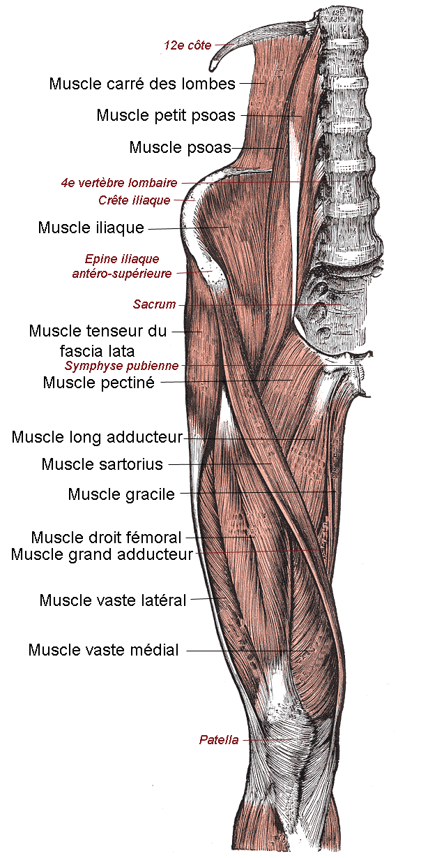 Quadriceps Muscle Muscle Quadriceps f Moral